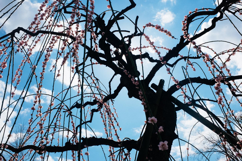 Un cerisier aux branches tombantes commence à fleurir à Osaka, Japon