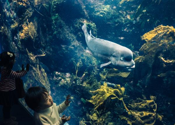 Un enfant est fasciné par le gros poisson visible derrière les vitres de l'aquarium d'Enoshima