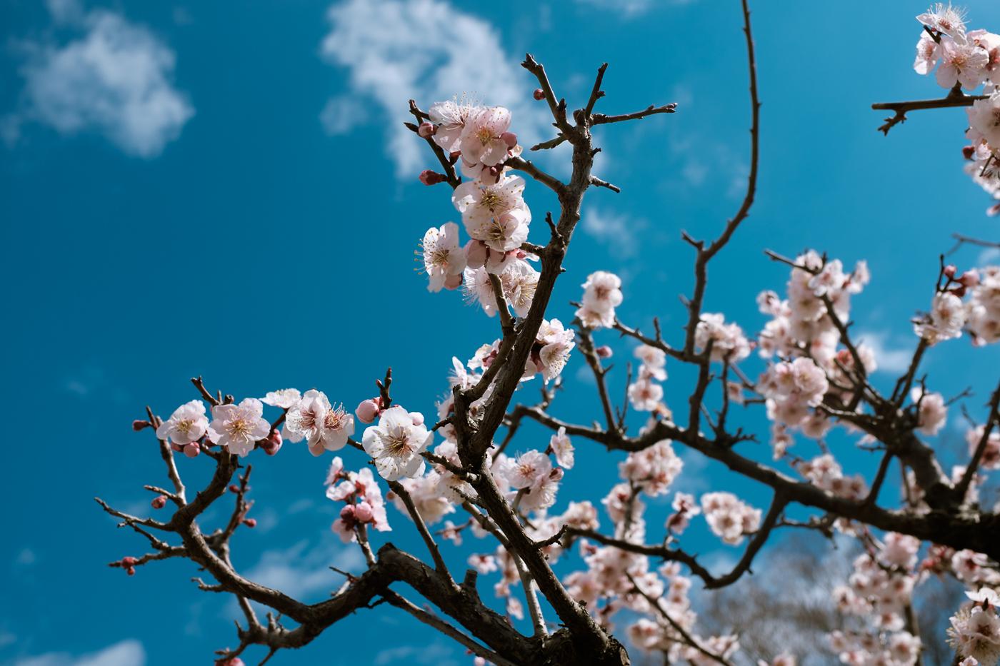 Fleurs de cerisiers d'Osaka