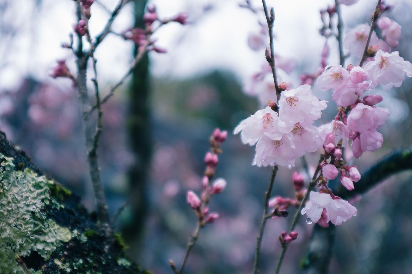 cerisiers en fleurs à Kofu, symbole du printemps japonais